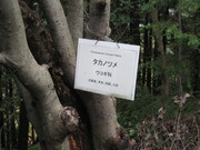 061112タカノツメ@エコカフェ(エコの寺子屋).jpg