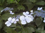 070613ガクアジサイ@エコカフェ(小石川植物園) (2).jpg