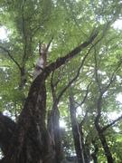 080726カツラ巨樹上部@エコカフェ(芦生公開講座) 118.jpg