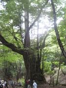 080726カツラ巨樹@エコカフェ(芦生公開講座) 116.jpg