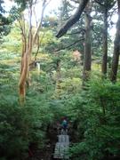 081106ヒメシャラ巨木@エコカフェ(屋久島).JPG