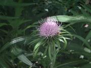 090523クルマアザミ@エコカフェ(自然教育園).JPG
