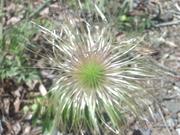 100515オキナグサ種子@赤城自然園.JPG