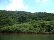 100812マングローブ林と背後照葉樹林@浦内川.JPG