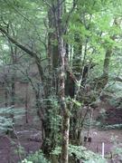 110723カツラ巨樹@エコカフェ.JPG