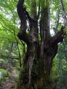 110723カツラ巨樹@エコカフェ芦生公開講座 223.jpg