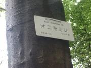 120504オニモミジ樹皮@エコカフェ.JPG