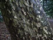 120504カゴノキ樹皮@エコカフェ.JPG