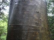 120504ナナミノキ樹皮@エコカフェ.JPG