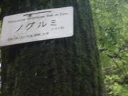 120504ノグルミ樹皮@エコカフェ.JPG