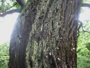 120504ハリギリ樹皮@エコカフェ.JPG