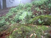 120616モミ幼樹@エコカフェ.JPG