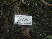 120624ハゼノキ樹皮@エコカフェ.JPG
