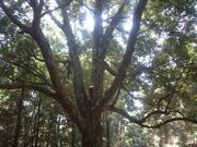 120728イチイガシ巨樹@エコカフェ(春日大社).JPG