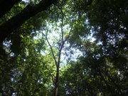 120728カラスザンショウ樹冠@エコカフェ(春日山).JPG