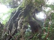 120901スダジイ巨樹@エコカフェ.JPG