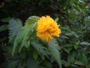 120921ヤエヤマブキ@エコカフェ(小石川植物園).JPG