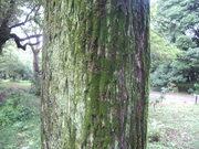 120922オニグルミ樹皮@エコカフェ.JPG