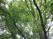 120922ヒロハカツラ@エコカフェ(小石川植物園).JPG