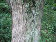 120922ヒロハカツラ樹皮@エコカフェ.JPG