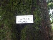 120922ムクノキ樹皮@エコカフェ.JPG