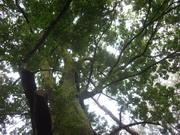 120922ムクノキ@エコカフェ(小石川植物園).JPG