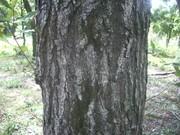 120929コナラ樹皮@エコカフェ.JPG