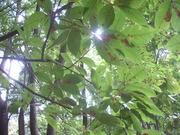 120929メグスリノキ@エコカフェ(赤城自然園).JPG