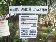 121013小笠原絶滅危惧植物関係説明看板@エコカフェ(神代植物園).JPG