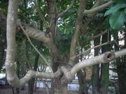 121028カクレミノ樹皮@エコカフェ.JPG