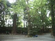 121028クスノキ巨木群@エコカフェ.JPG