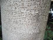 121111イイギリ樹皮@エコカフェ.JPG