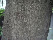 121111シラカシ樹皮@エコカフェ.JPG