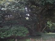 121111スダジイ樹形@エコカフェ.JPG