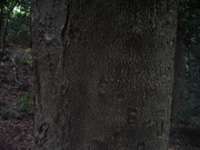121111ホオノキ樹皮@エコカフェ.JPG