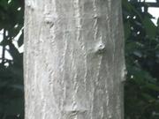 121111ミズキ樹皮@エコカフェ.JPG