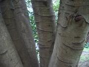 121117モチノキ樹皮@エコカフェ.JPG