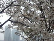 130327晴海運河沿いの桜@エコカフェ.JPG
