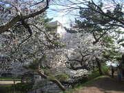 130328桜@エコカフェ.JPG
