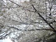 130330国会議事堂前の桜@エコカフェ.JPG