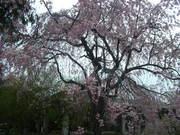 130330枝垂れ桜@エコカフェ.JPG