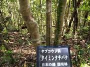 130411タイミンタチバナ@エコカフェ奄美大島エコツアー_303s.jpg