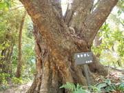 130505アカガシ樹幹@エコカフェ.JPG