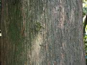 130505サワラ樹皮@エコカフェ.JPG