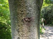 130505シラカシ樹皮@エコカフェ.JPG