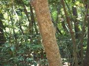 130505シロダモ樹皮@エコカフェ.JPG