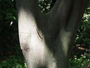 130505ハクウンボク樹皮とシャクトリムシ@エコカフェ.JPG