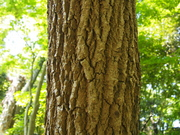 130505ハリギリ樹皮@エコカフェ.JPG