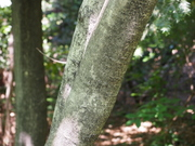 130505マンサク樹幹@エコカフェ.JPG