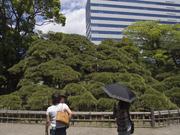 130512三百年の松と高層ビル@エコカフェ.jpg